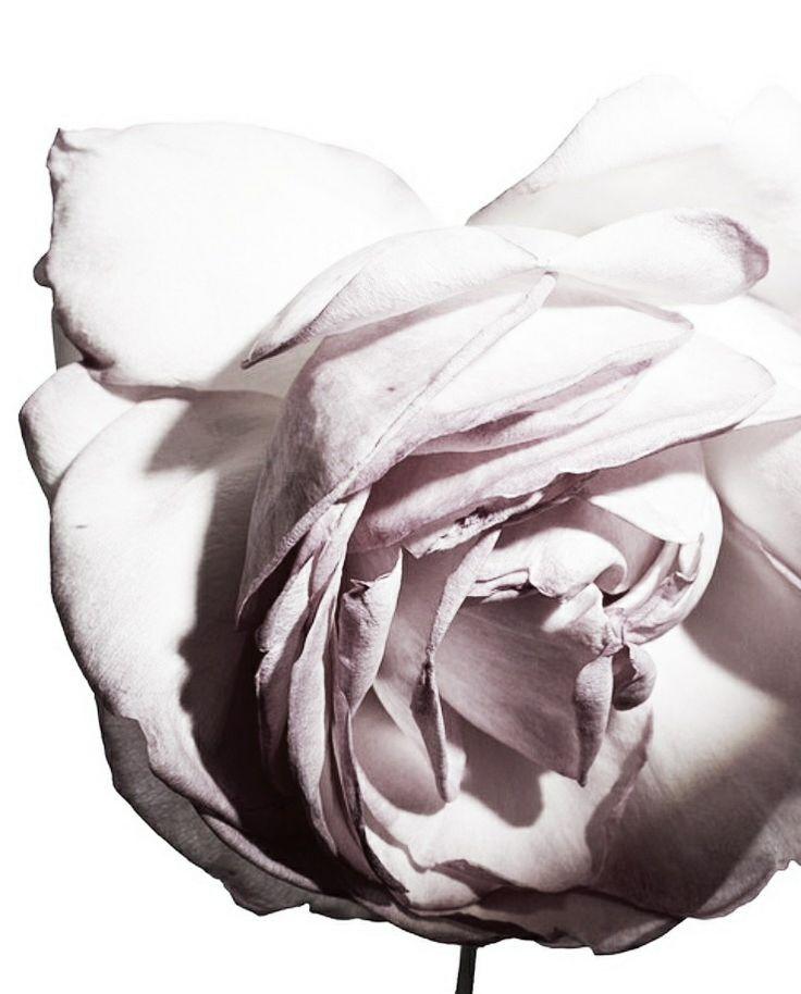 palest rose