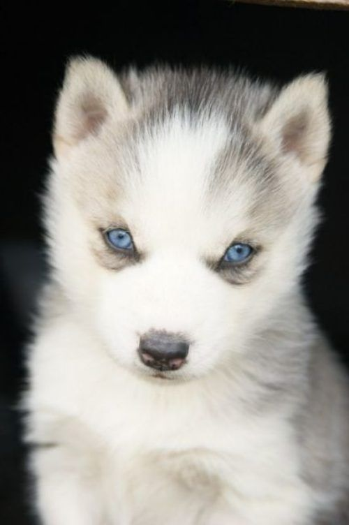 Theberry Cute Animals Animals Husky With Blue Eyes