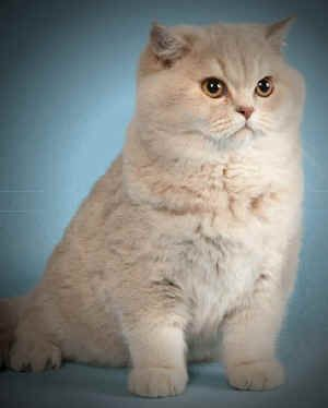 British Shorthairs British Shorthair Cats British Shorthair Kittens British Blue Cat