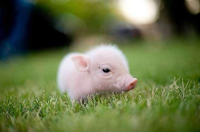 22 b b s animaux plus mignons que les v tres pigs pinterest b b s animaux mignon et animal. Black Bedroom Furniture Sets. Home Design Ideas