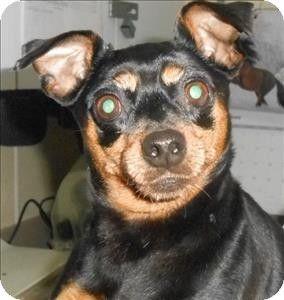 Salisbury Md Miniature Pinscher Mix Meet Minnie A Dog For