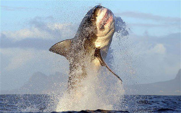 Great White Shark, False Bay, Cape Town, South Africa