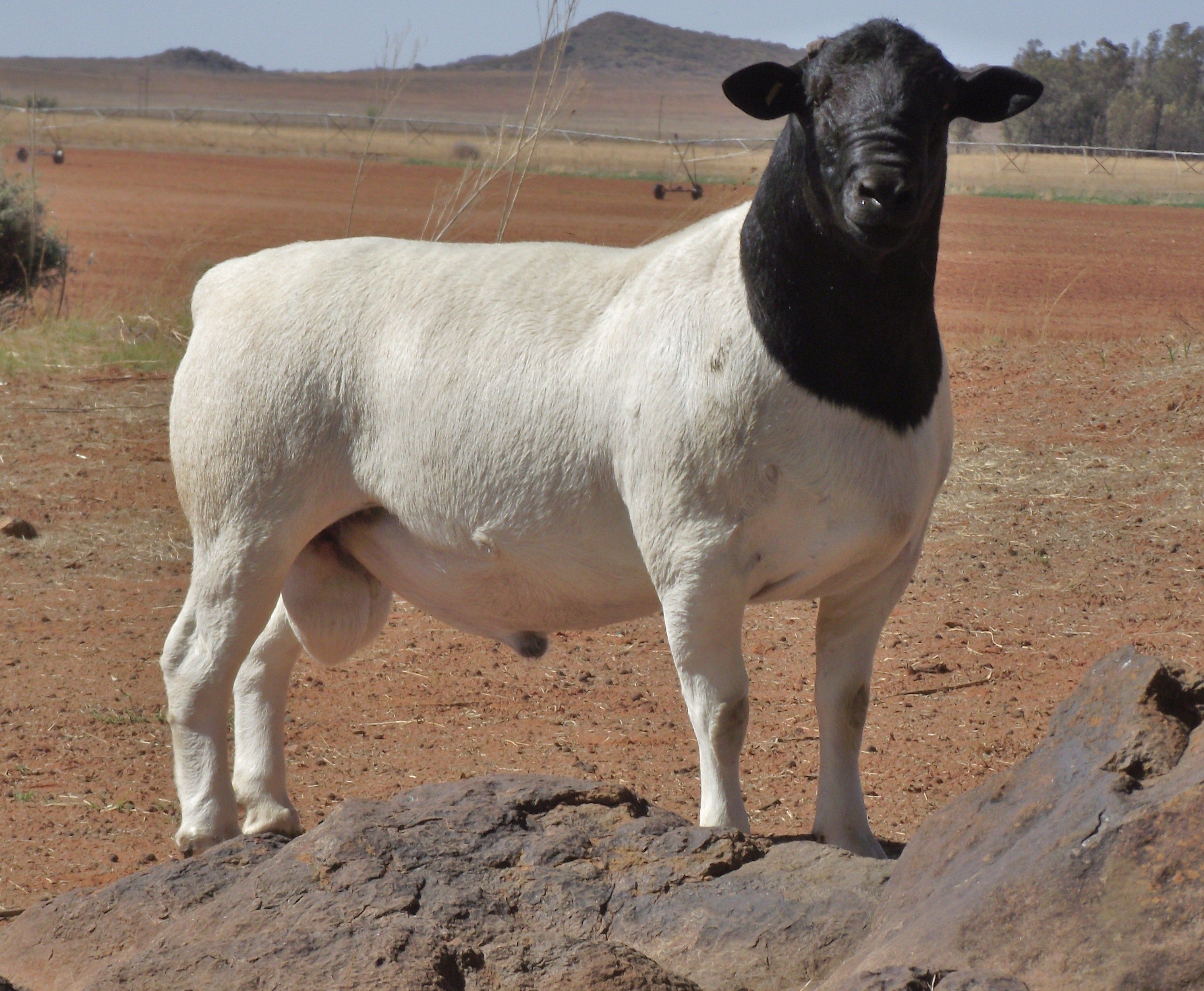 black singles in sheep ranch Sheep farmers will love these sheep ranch personal checks exclusively from bank checks now have you ever been to a sheep ranch.