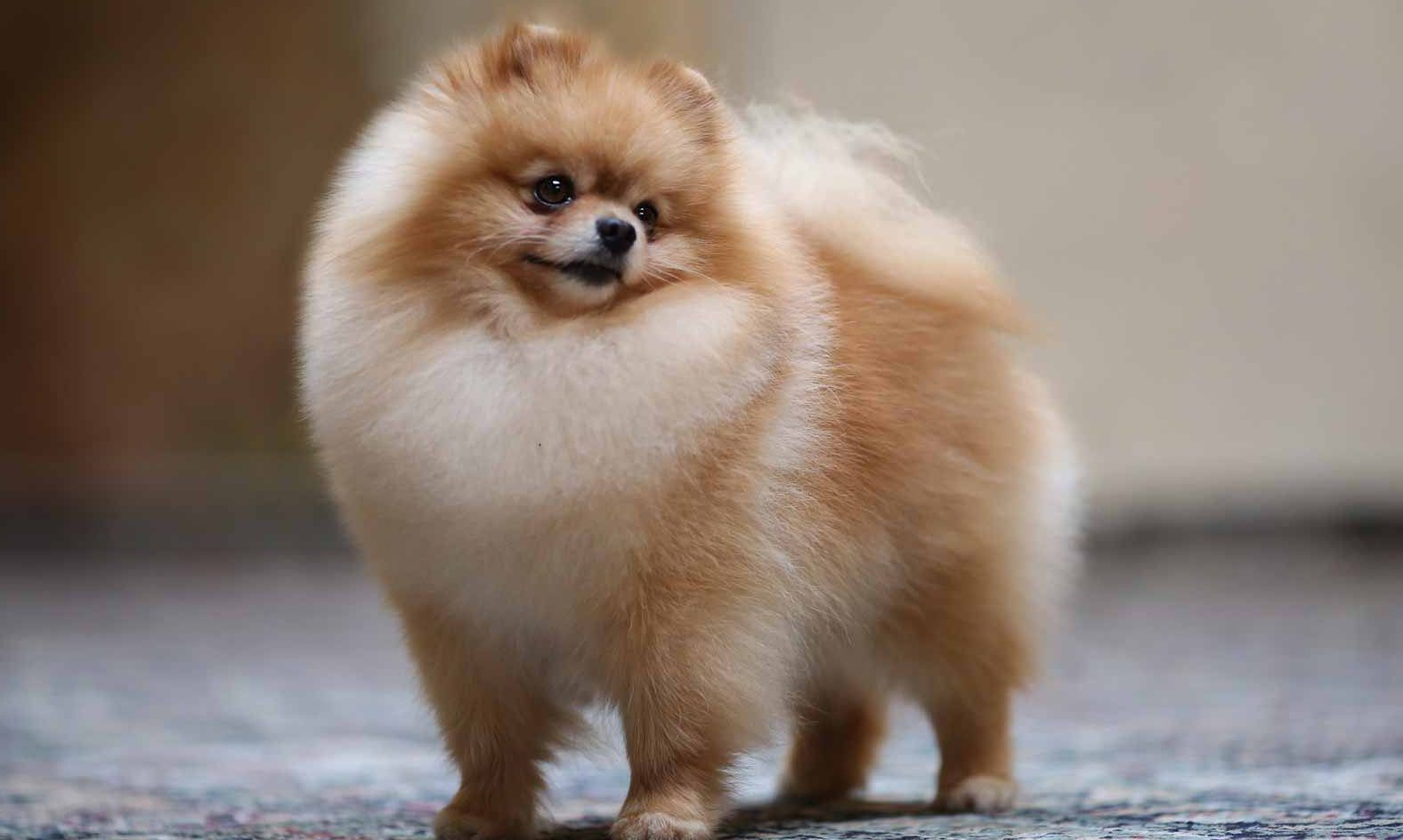 Pomeranian Puppies For Sale Pom Puppies Greenfield Puppies In 2020 Cute Small Dogs Pomeranian Puppy For Sale Pomeranian Puppy