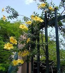 Alamanda: trepadeira de pleno sol para pérgolas e muros, deve ser tutorada inicialmente. Floresce o ano todo e tem crescimento rápido em regiões quentes. É tóxica.