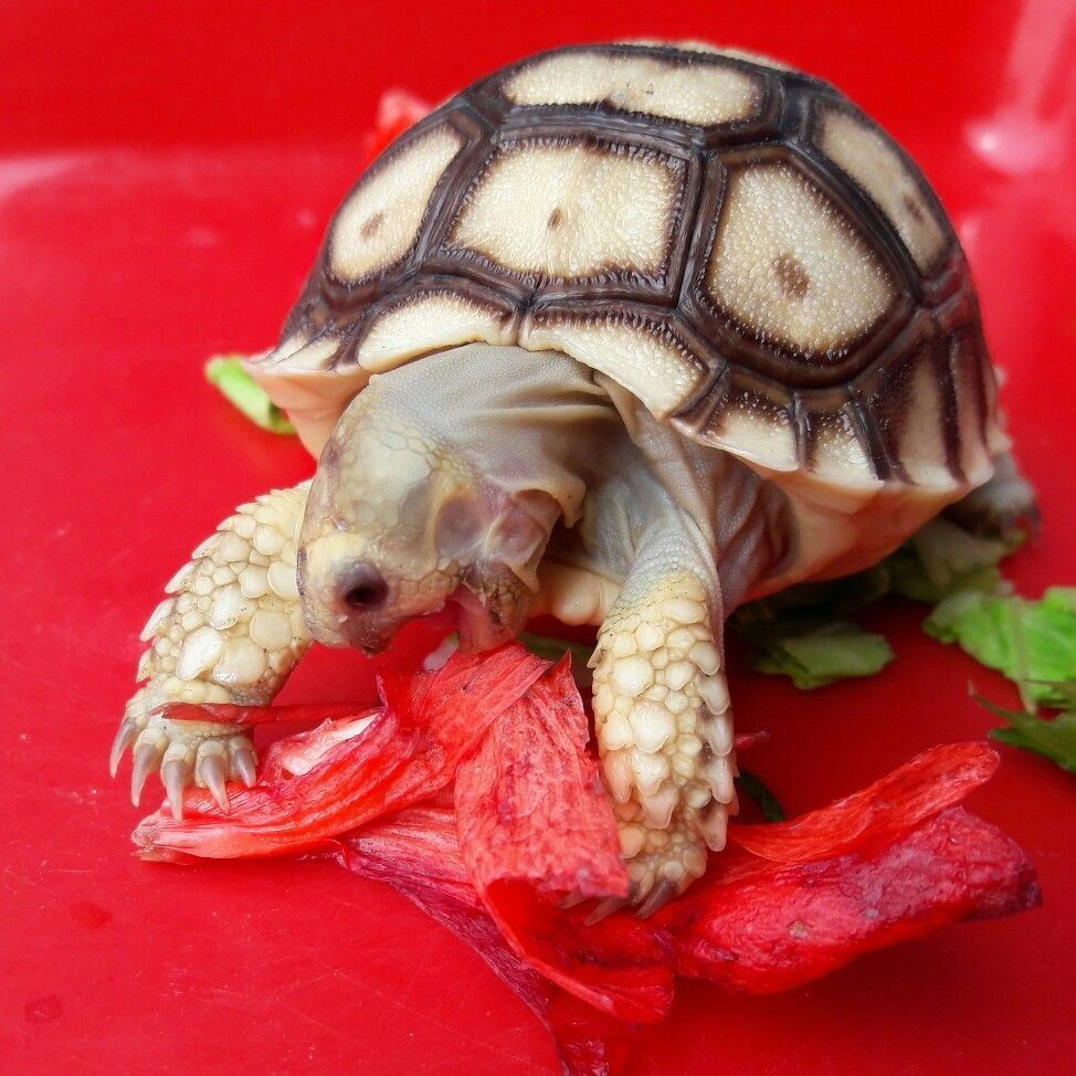 turtle. Russian tortoise diet, Russian tortoise