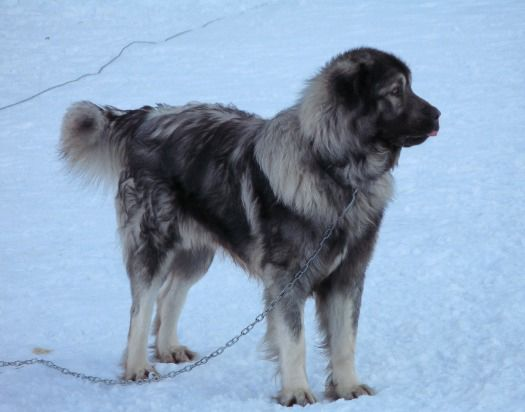 Caucasian Ovcharka Short Hair Google Search Caucasian Shepherd Dog Dogs Caucasian Shepherd