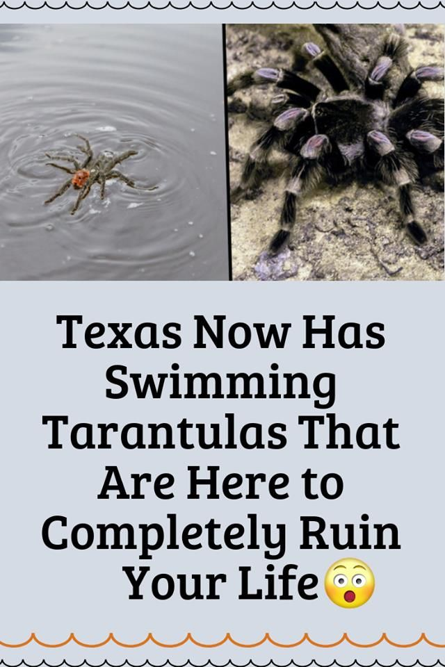 Texas Now Has Swimming Tarantulas That Are Here To