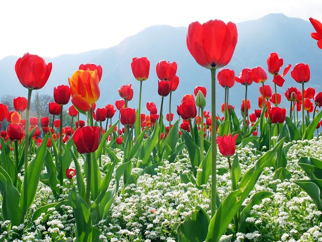 Animated Beautiful Flowers Wallpapers For Mobile 13 Hd Tulips Flowers Flower Images Red Tulips