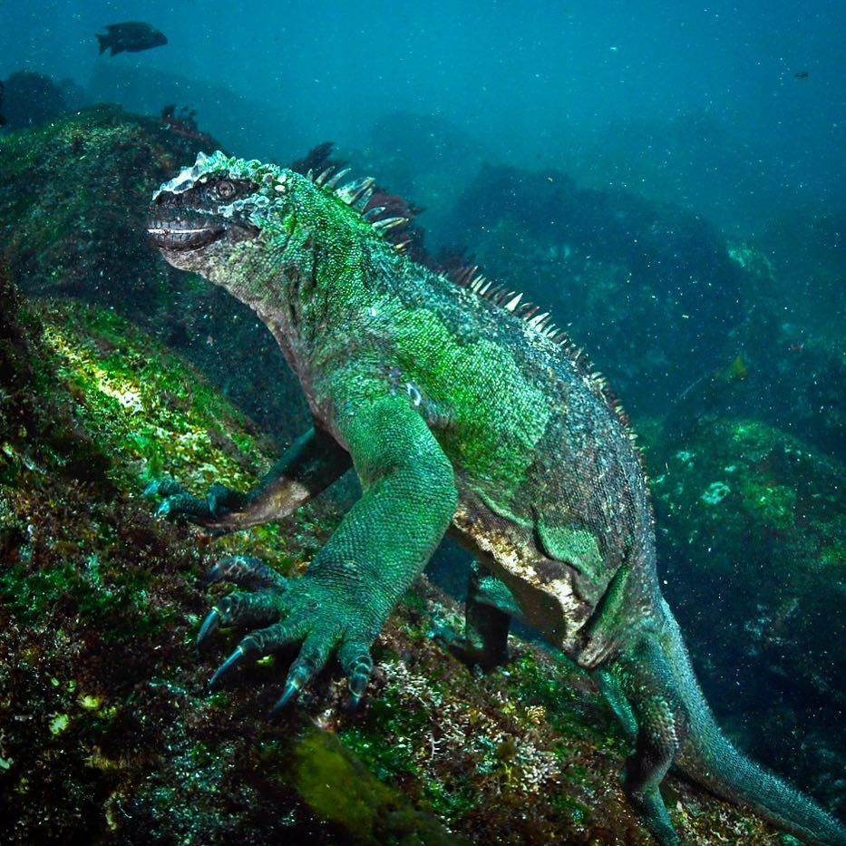 This is a marine iguana, the only sea going lizard in the world ...