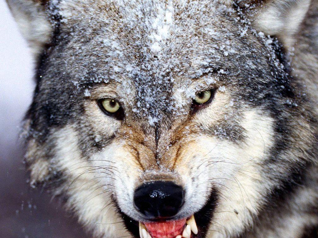 grey wolf wallpapers wallpaper | wallpapers 4k | pinterest | wolf