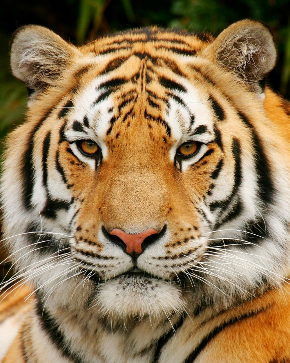 Tiger Wildcat 8 X 10 8x10 Glossy Photo Picture Image 7 Ebay Wild Cats Tiger Pictures Tiger Face
