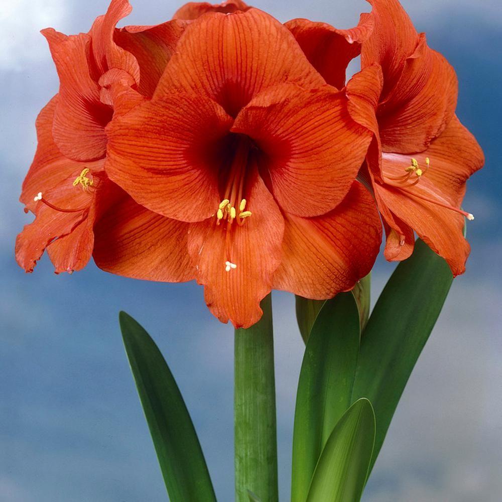 Van Zyverden Orange Waxed Amaryllis Bulbs Set Of 1 Bulb 87219 With Images Amaryllis Bulbs Amaryllis Flowers Amaryllis