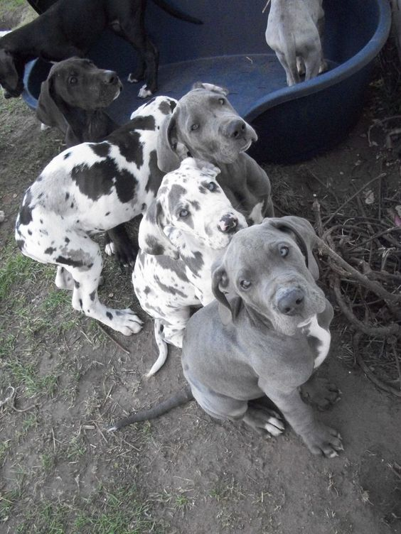 Great Dane Puppies Harlequin Blue Ready Now Doncaster South Dane
