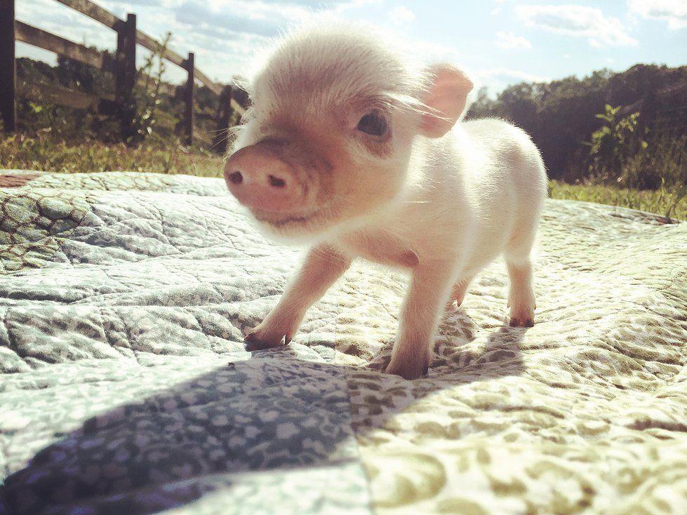 Petite Piglets Pig Micro Pigs Miniature Pigs