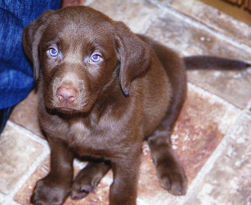 D 745 Labmaraner Puppy