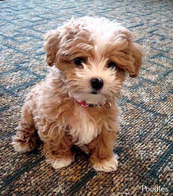 Gray Miniature Poodle In 2020 Miniature Poodle Poodle Labrador