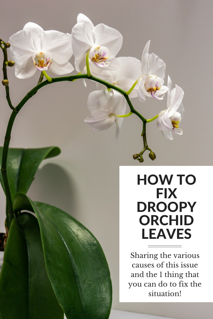How To Fix Droopy Leaves On Your Orchid In 2020 Orchids Orchid Leaves Blooming Orchid