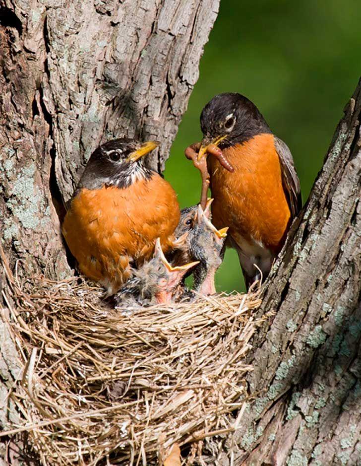 Crias De Aves Buscar Con Google Kleine Vogel Rotkehlchen Hering
