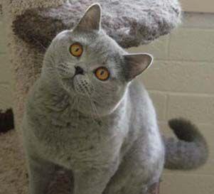 Do You Love Me Cat Scottish Fold British Shorthair Kittens Cattery