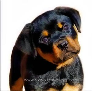 Rotties He Will Be Mine When We Move To The Country He Will Keep