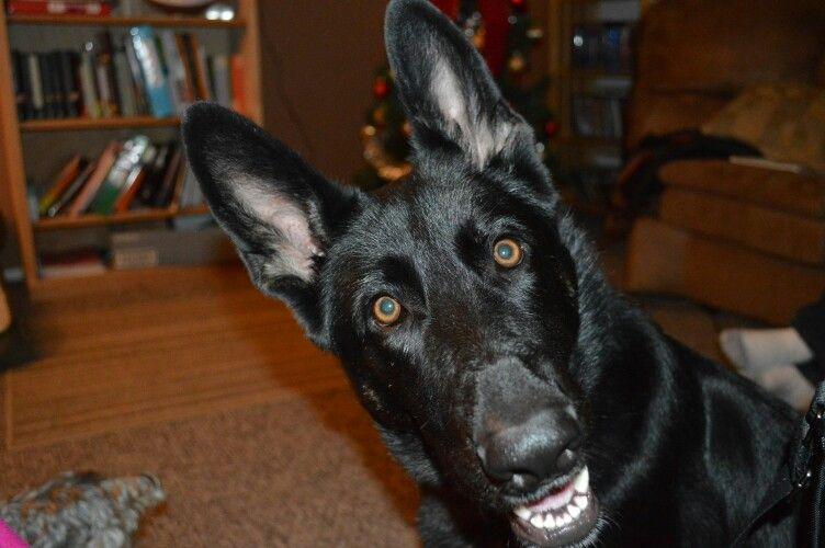 My German Shepherd Making A Funny Face German Shepherd German