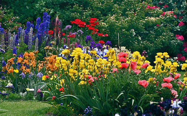 Beautiful Garden Plot Utilizing Bearded Iris, Poppies, Larkspur And  Delphinium.