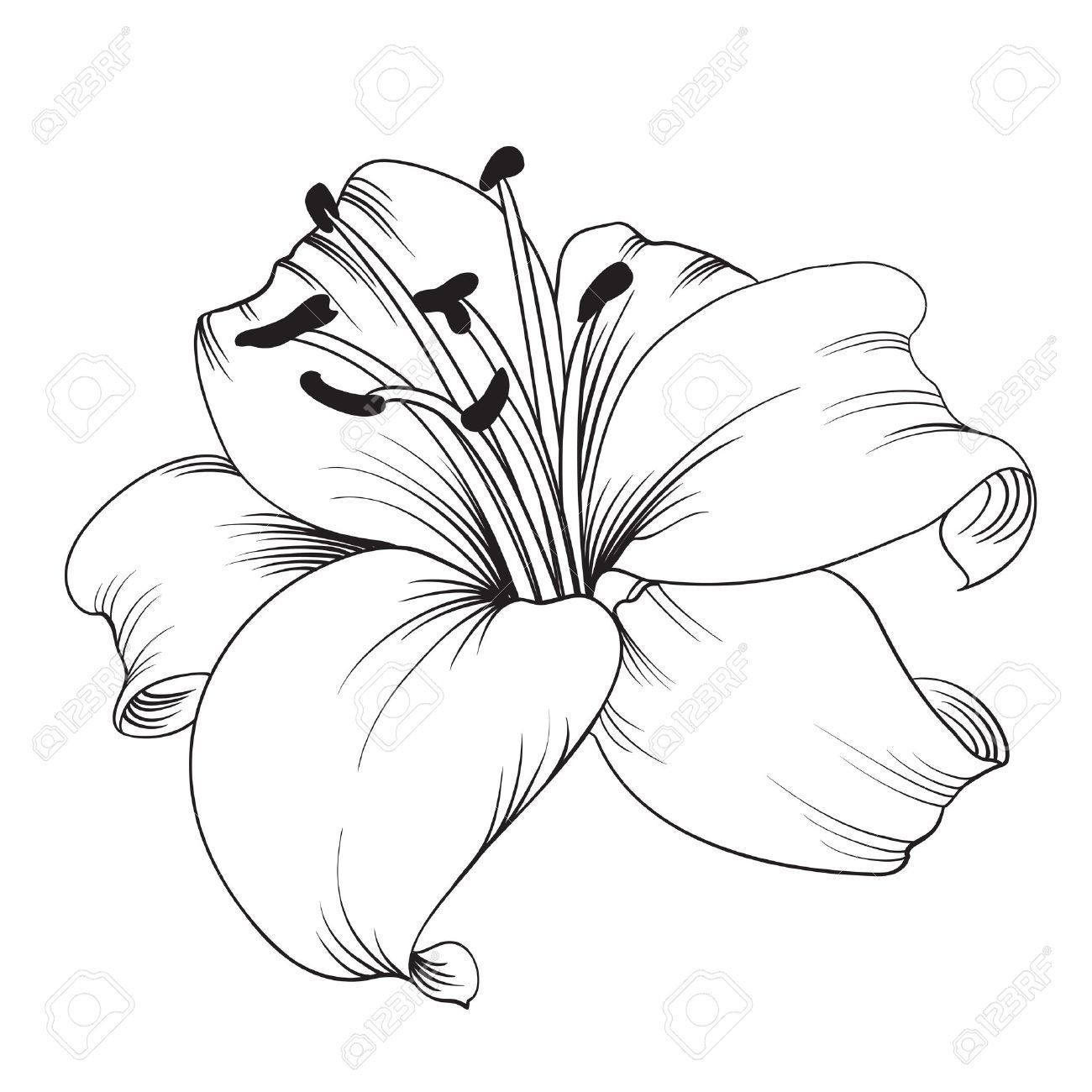 White lily isolated on a white background. Card with