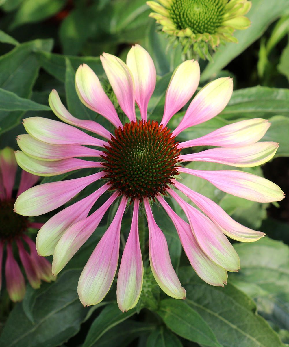 Cottage Farms Direct Live Green Twister Echinacea Coneflower Set Of Two Zulily In 2020 Waterwise Garden Farm Direct Echinacea