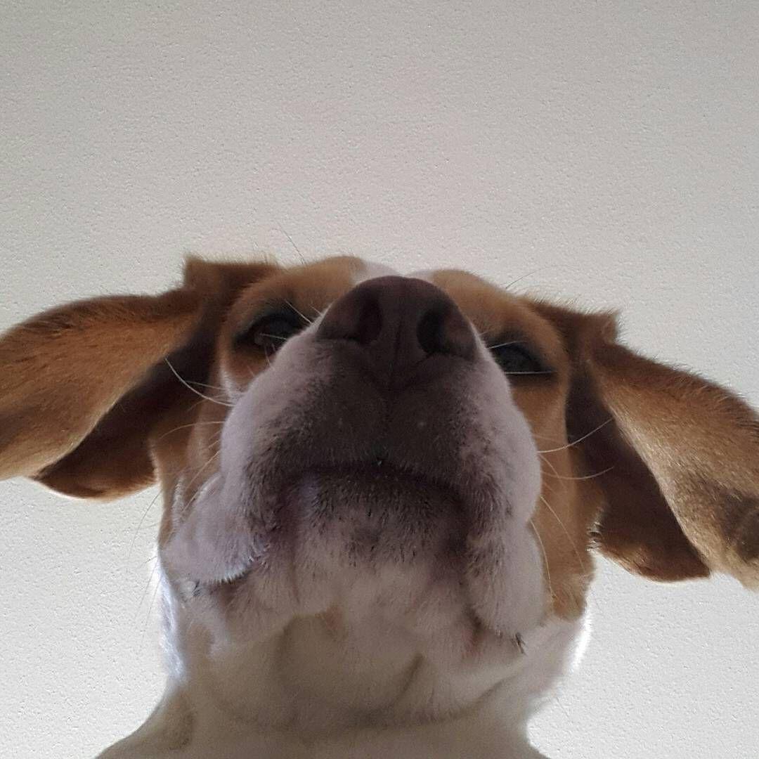 Selfie Pooch Beagle Doggy