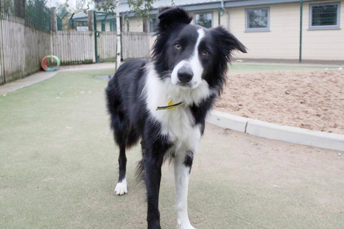 Adopt A Dog Benji Border Collie Dogs Trust Dogs Dog Adoption Border Collie