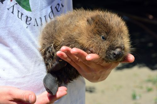 Rescued Baby Beaver At The Budapest Zoo Zooborns Baby Beaver Zorse