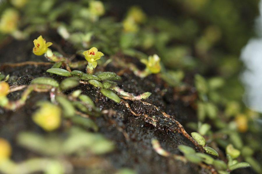 Trichotosia dasyphylla