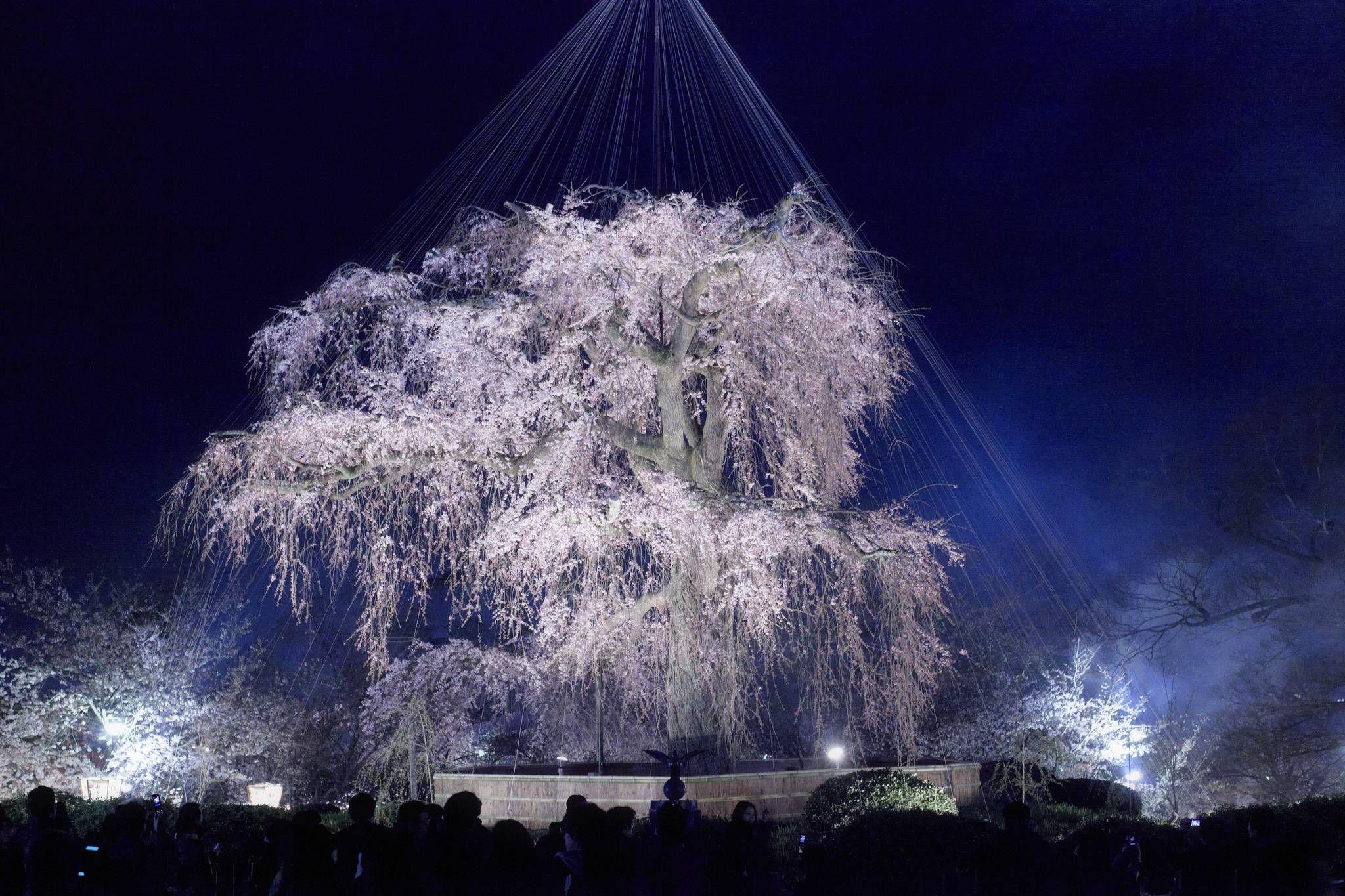 One Of Japan S Oldest Cherry Trees Cherry Tree Tree Japan