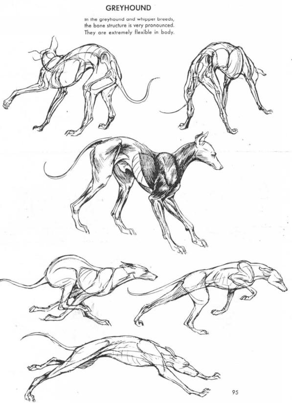 Pin by Jason Martinucci on 3 Art - Anatomy | Dog anatomy ...