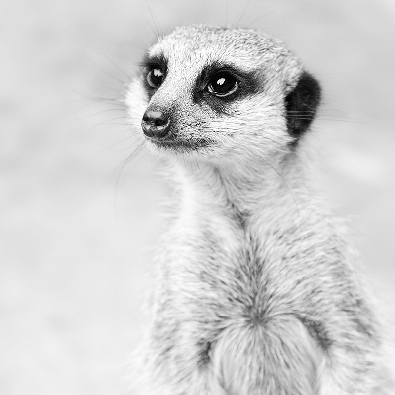 animal #meerkat #suricate black and white | MEERKATS | Pinterest ...