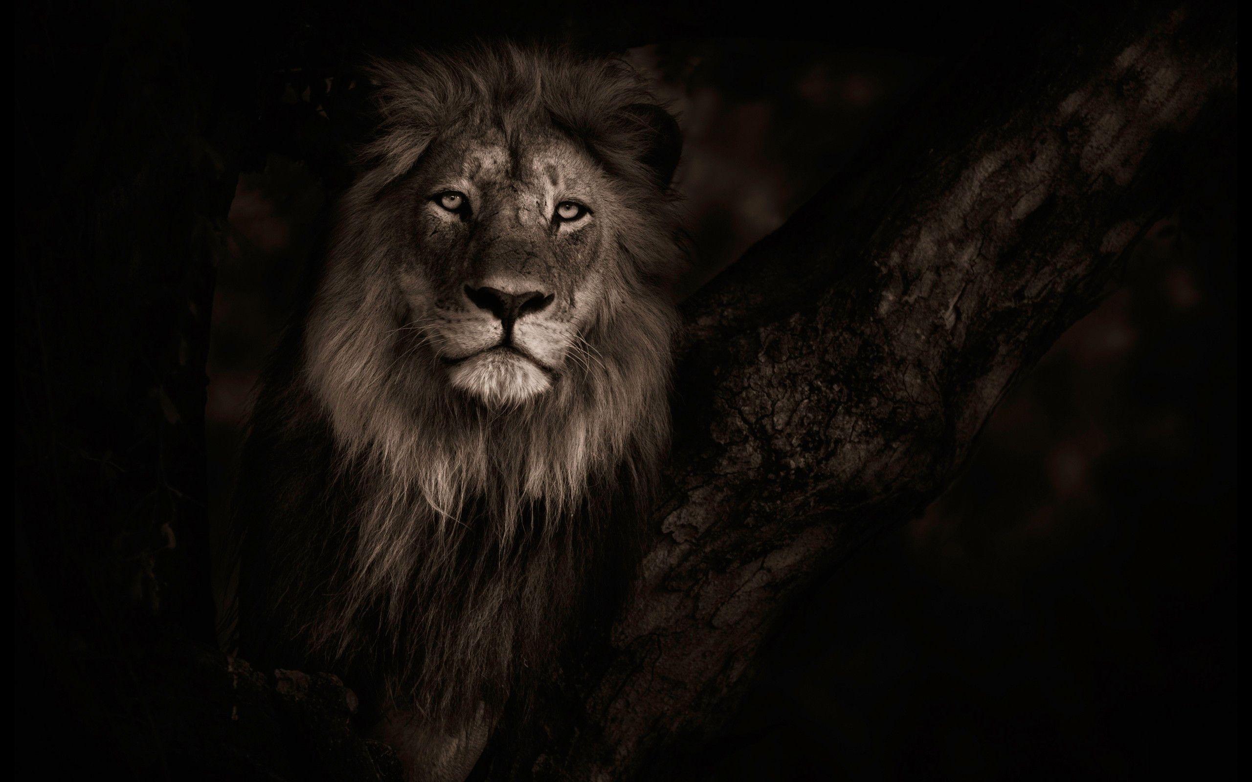 Res 2560x1600, Top Beautiful Lion Photos 14 4K Ultra HD B