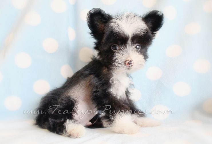 www.teacupspuppies.com/Puppies2013/chinese-crested... | CHINESE ...