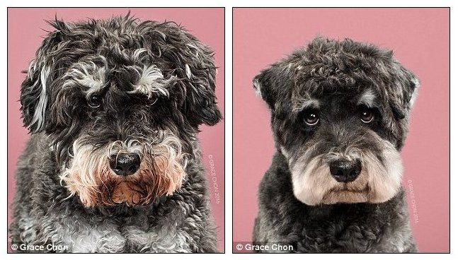 These Before And After Pictures Of Groomed Dogs Will Make You Squee Schnauzer Grooming Pampered Dogs Dog Grooming