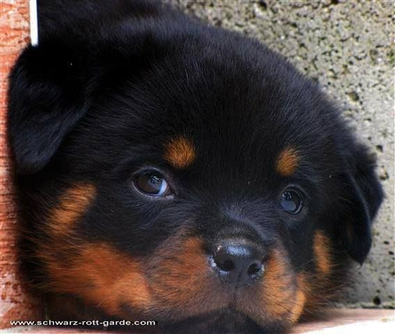 Searching For Rottweilerpuppies Check Out The Website Below And