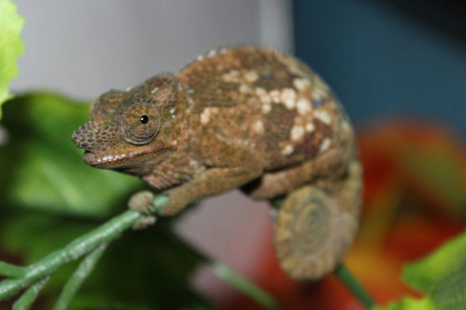 Gravid Fischer S Lizard Animals Chameleon