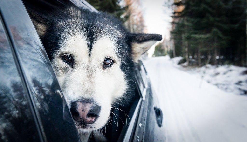 On the trip, Pinja the dog, Finland | karjalainen.fi