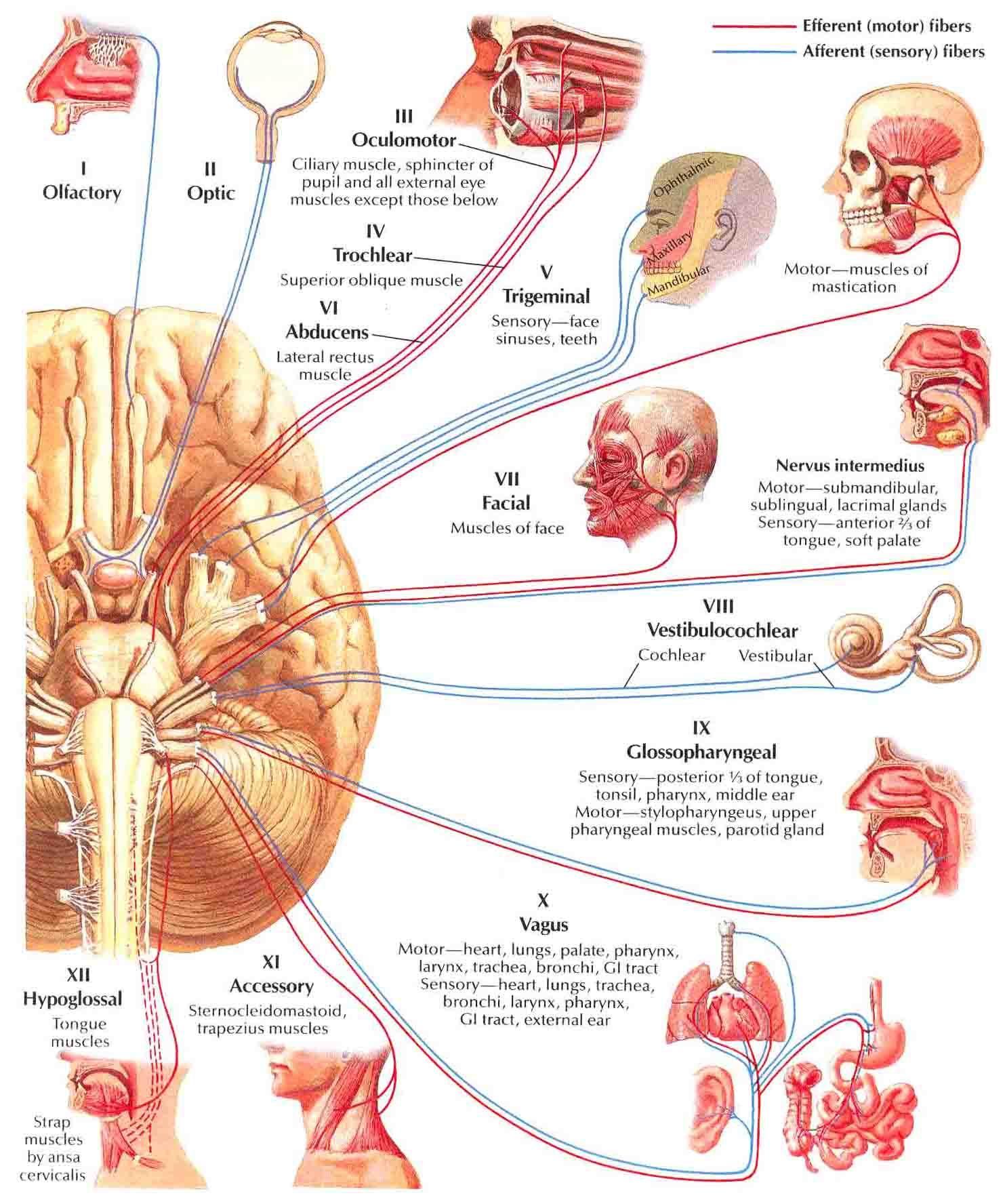Cranial Nerves (Motor and Sencory Distribution)-Schema   Cranial nerves