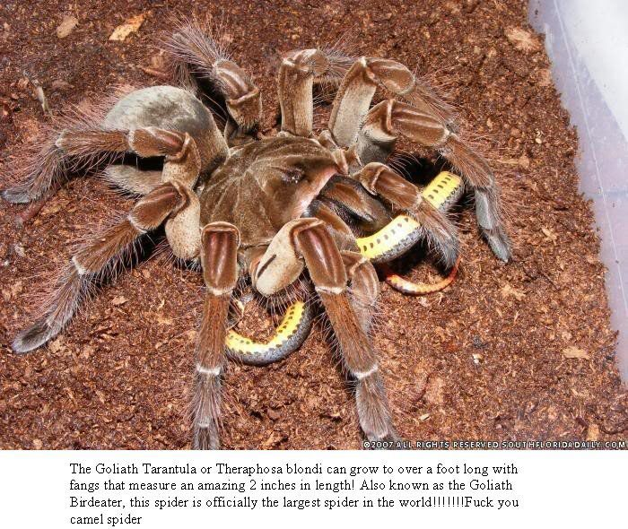 As big as a dinner plate. The Giant Birdeater. & As big as a dinner plate. The Giant Birdeater. | Real Monsters ...