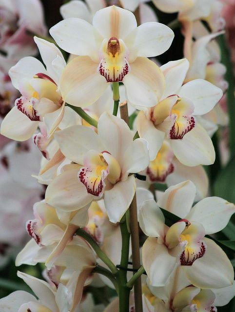 White Cymbidium Orchid Con Imagenes Flores Orquideas
