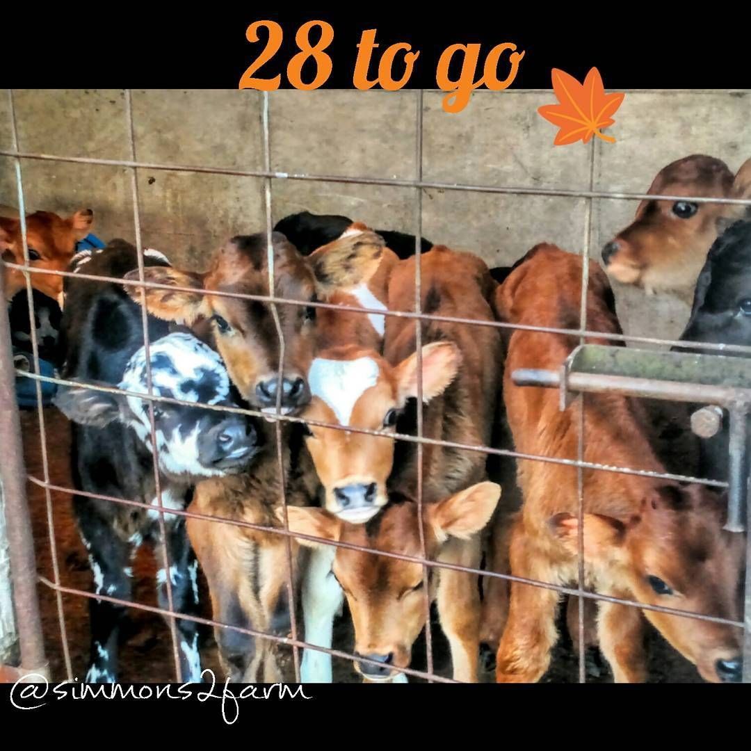 """Cute factor overload!!! Fall calf Countdown... They just keep coming! #409 #410 #411 #412 #413 #fallcalfcountdown15 #dairybabies #holsteinjerseycross…"""