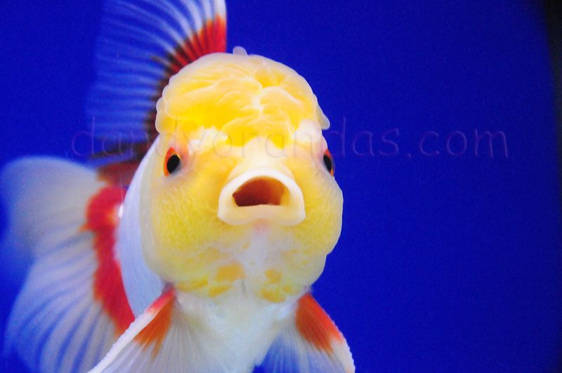 White Red Oranda Dandyorandas Com Goldfish Goldfish Care Aquarium Fish