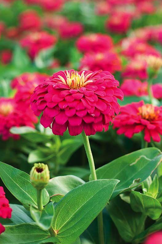 Cynie. Ogród przed domem – jesienne kwiaty #jesień #kwiaty #ogród #pomysły #inspiracje #jesienne #kwiat #dom  #garden #ideas #flowers #autumn #green #colors
