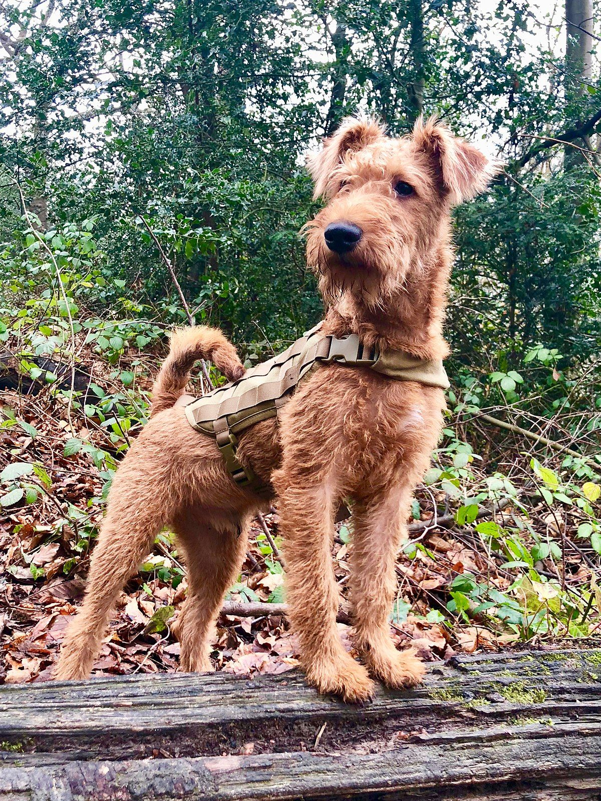 Irish Terrier Wikipedia Irish Dog Breeds Irish Dog Dog Breeds
