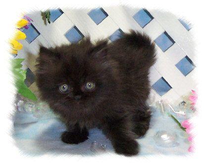 Tiny Tots - Birth & Beyond - Newborn Baby Kittens ... |Baby Doll Face Kittens